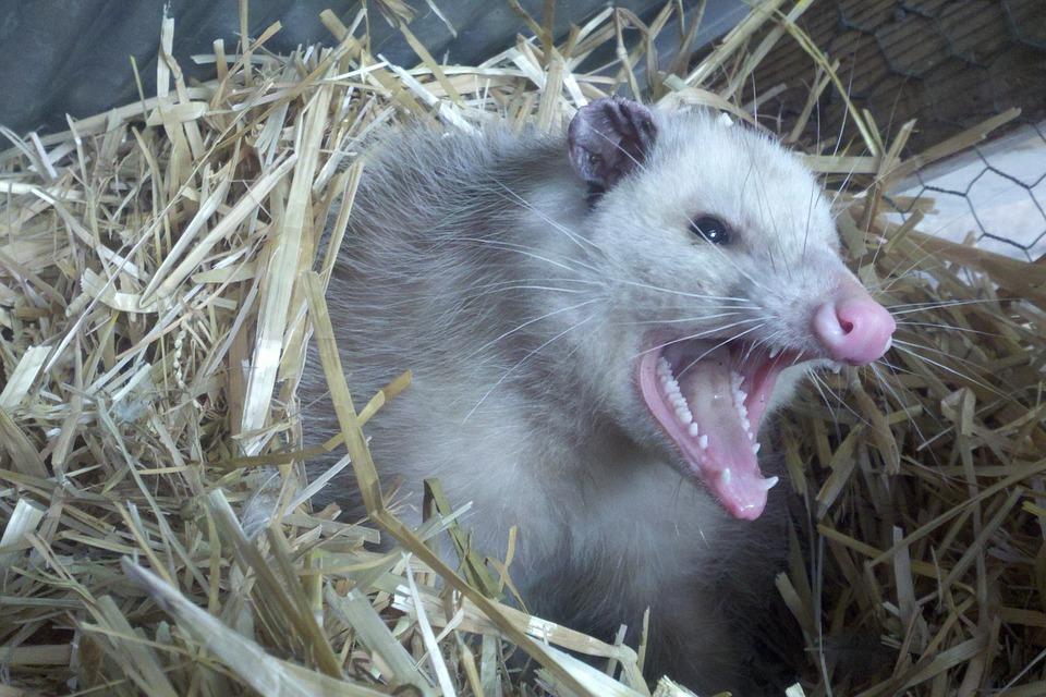 Opossum problems in Indianapolis